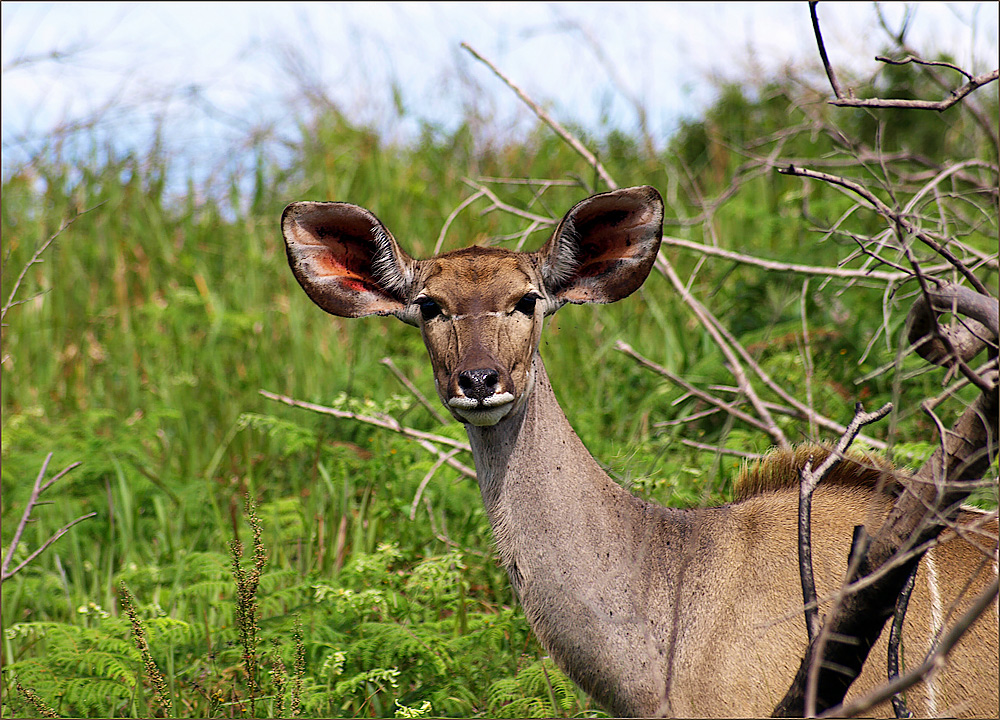 Großmutter, warum hast du so große Ohren ???