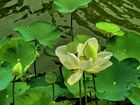 Group of Lotus