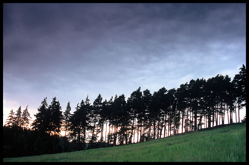 Group of pine trees at sunset...