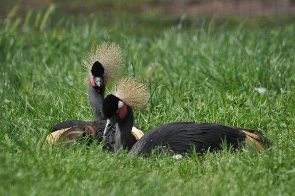 Grue couronnée noire