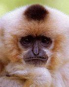 Grübelnder Gibbon
