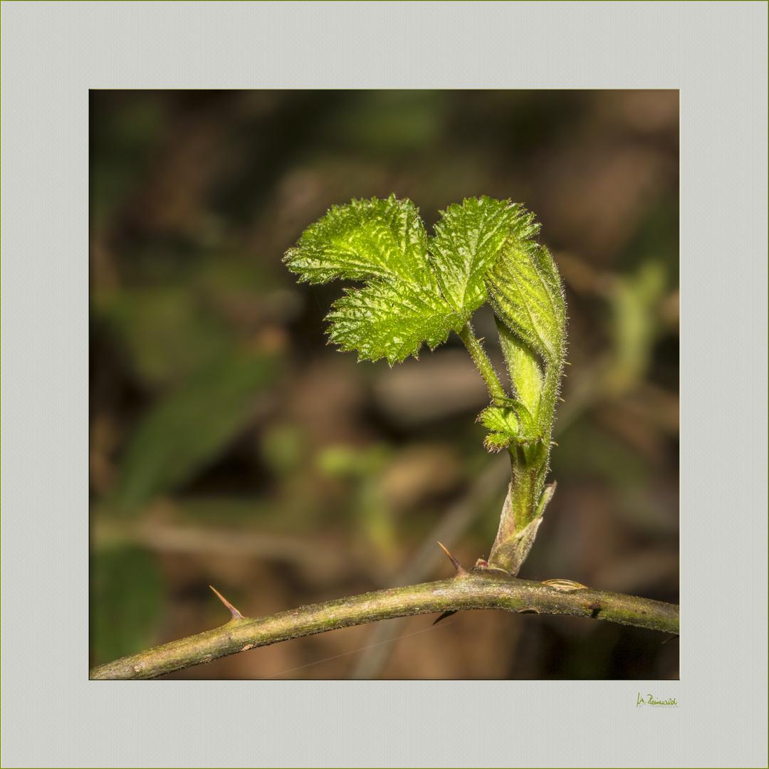 Grün der Beerensträucher ...