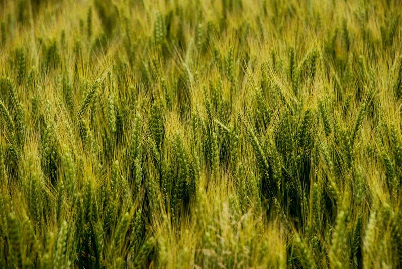 Grün - Vor der Ernte