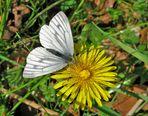 Grünader-Weißling Pieris napae