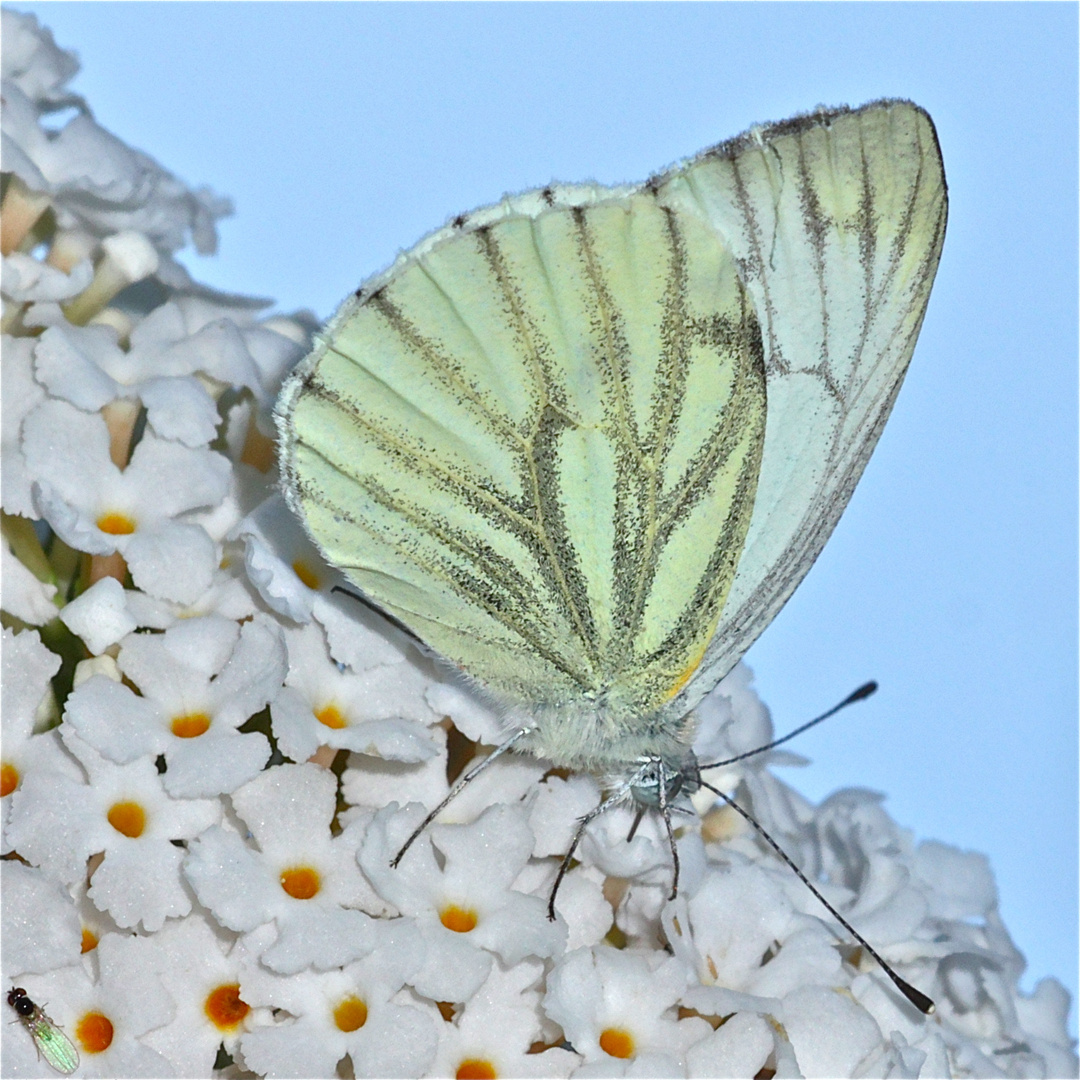 Grünaderweißling (Pieris napi) auf Sommerflieder (Buddleia sp.)