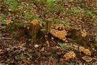 Grünblättrige Schwefelköpfe