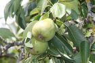 Grüne Äpfel am Wegesrand