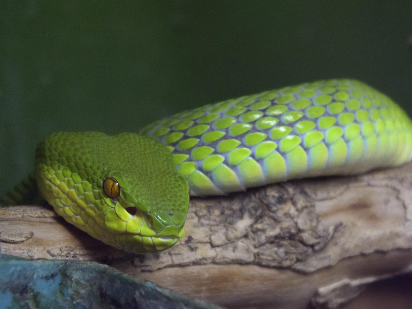 Grüne Bambusotter - fotografiert im Reptilienzoo Regensburg