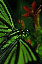 grüne Baumnymphe