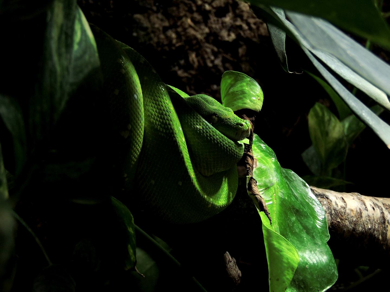 Grüne Baumpython (1)