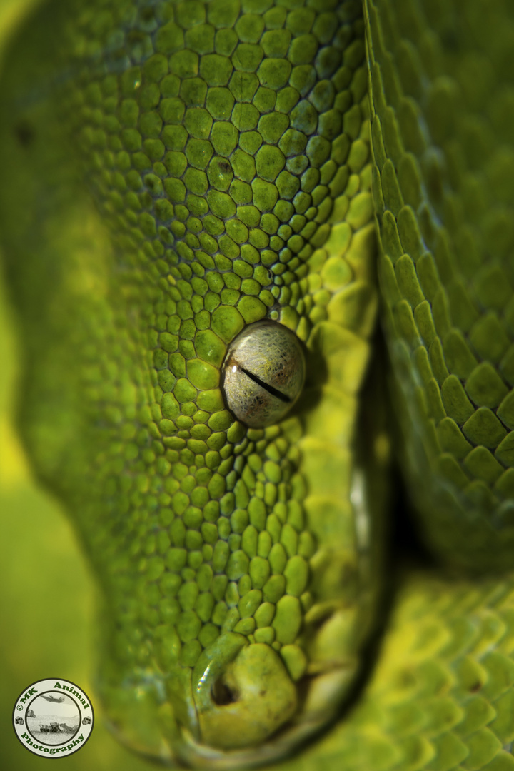 Grüne Baumpython (Morelia viridis)