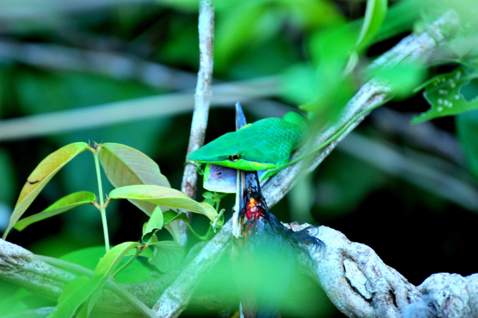 Grüne Baumschlange 2