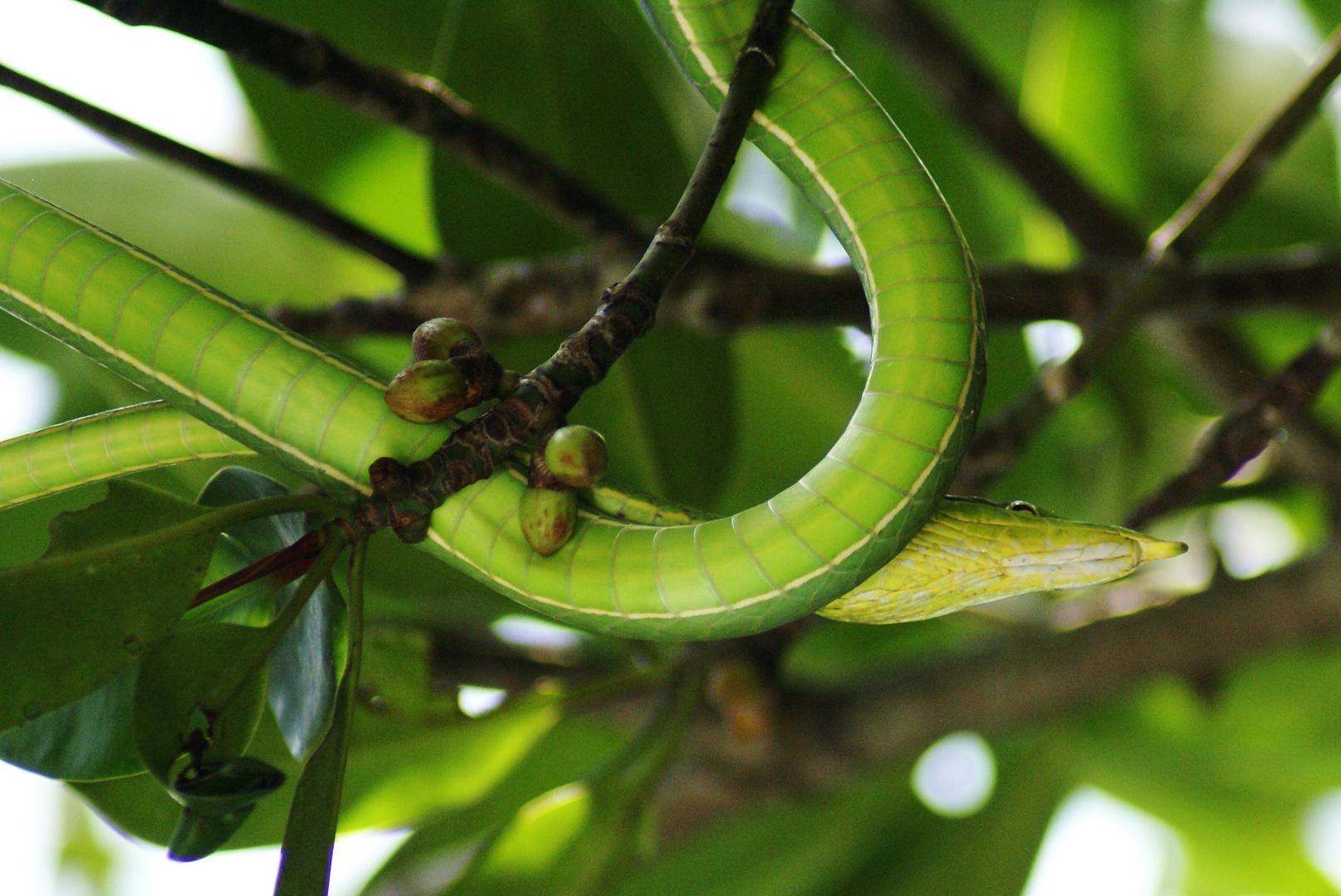 .....grüne Baumschlange......