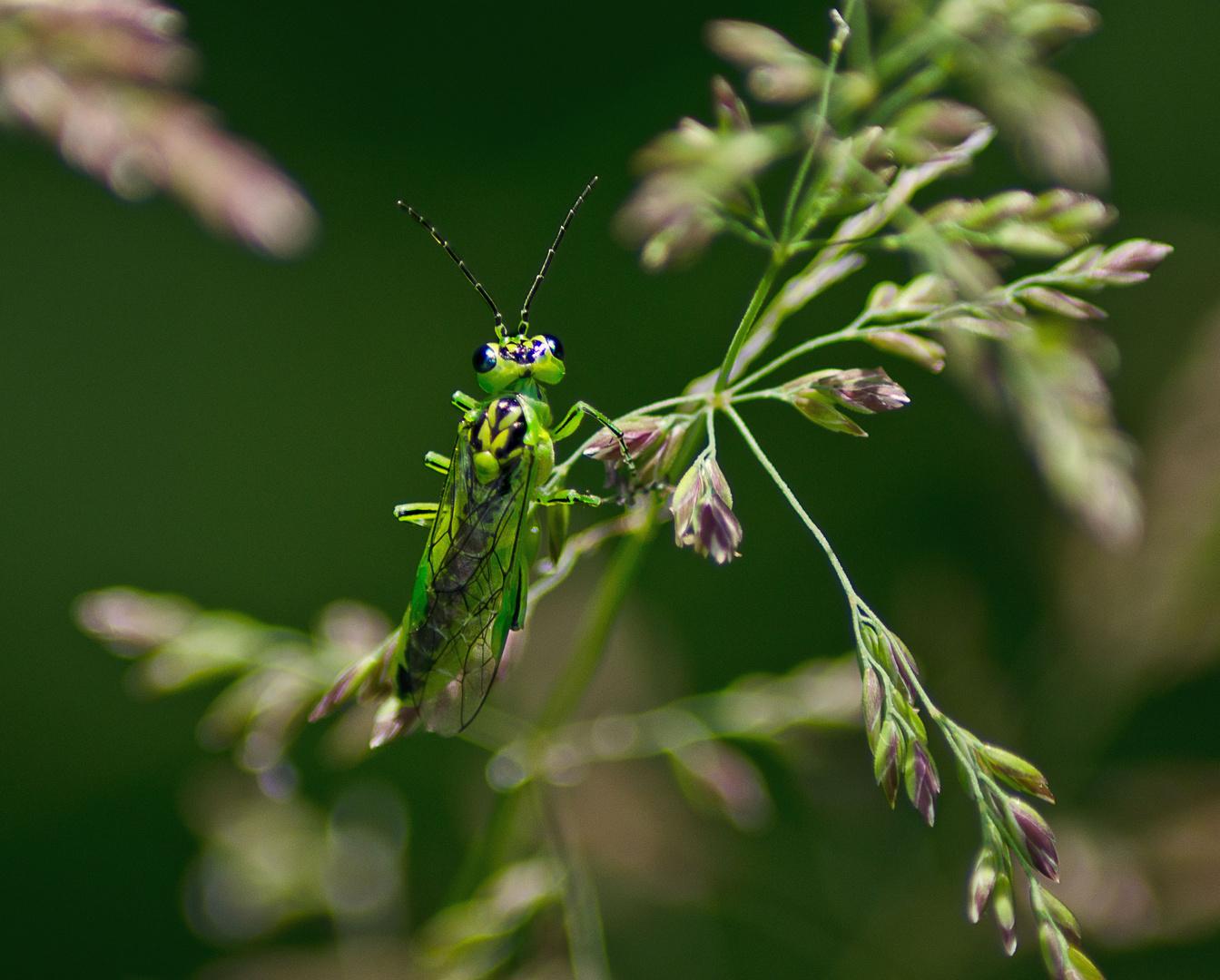 Grüne Blattwespe..