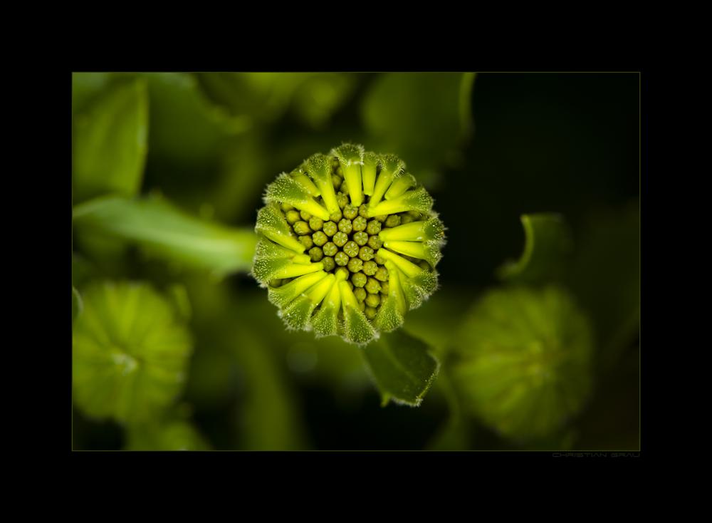 Grüne Blüte 2