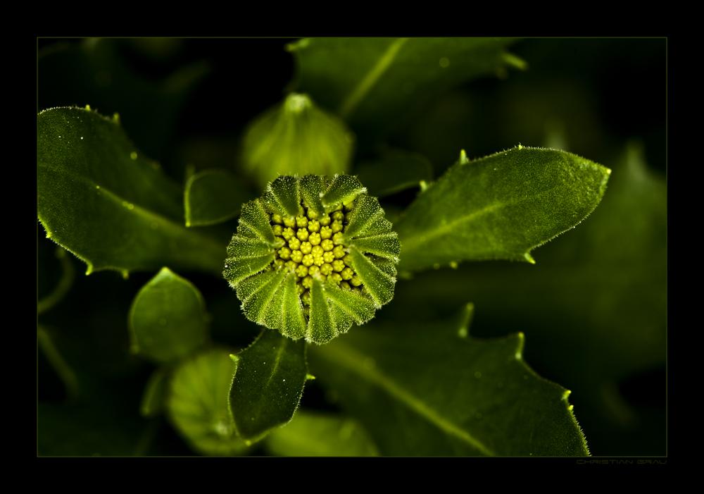 Grüne Blüte 3