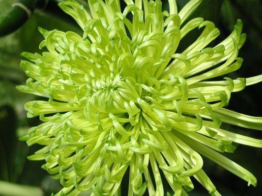 Grüne Blüte