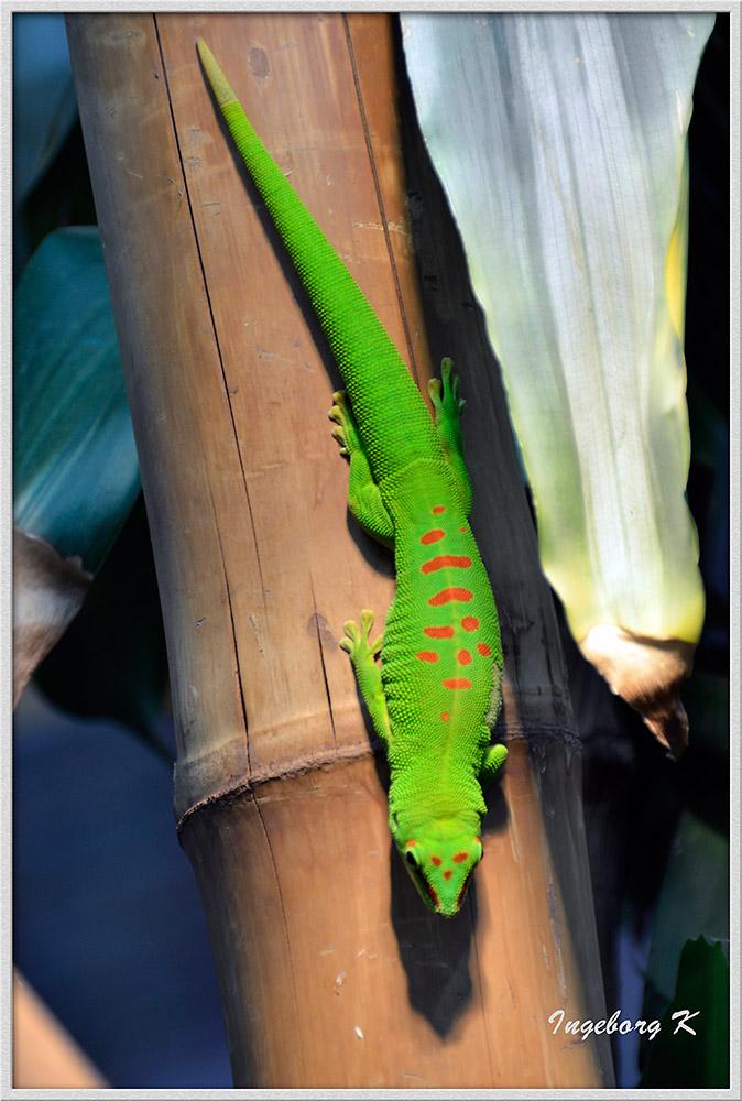 grüne Echse - Madagaskar Taggecko