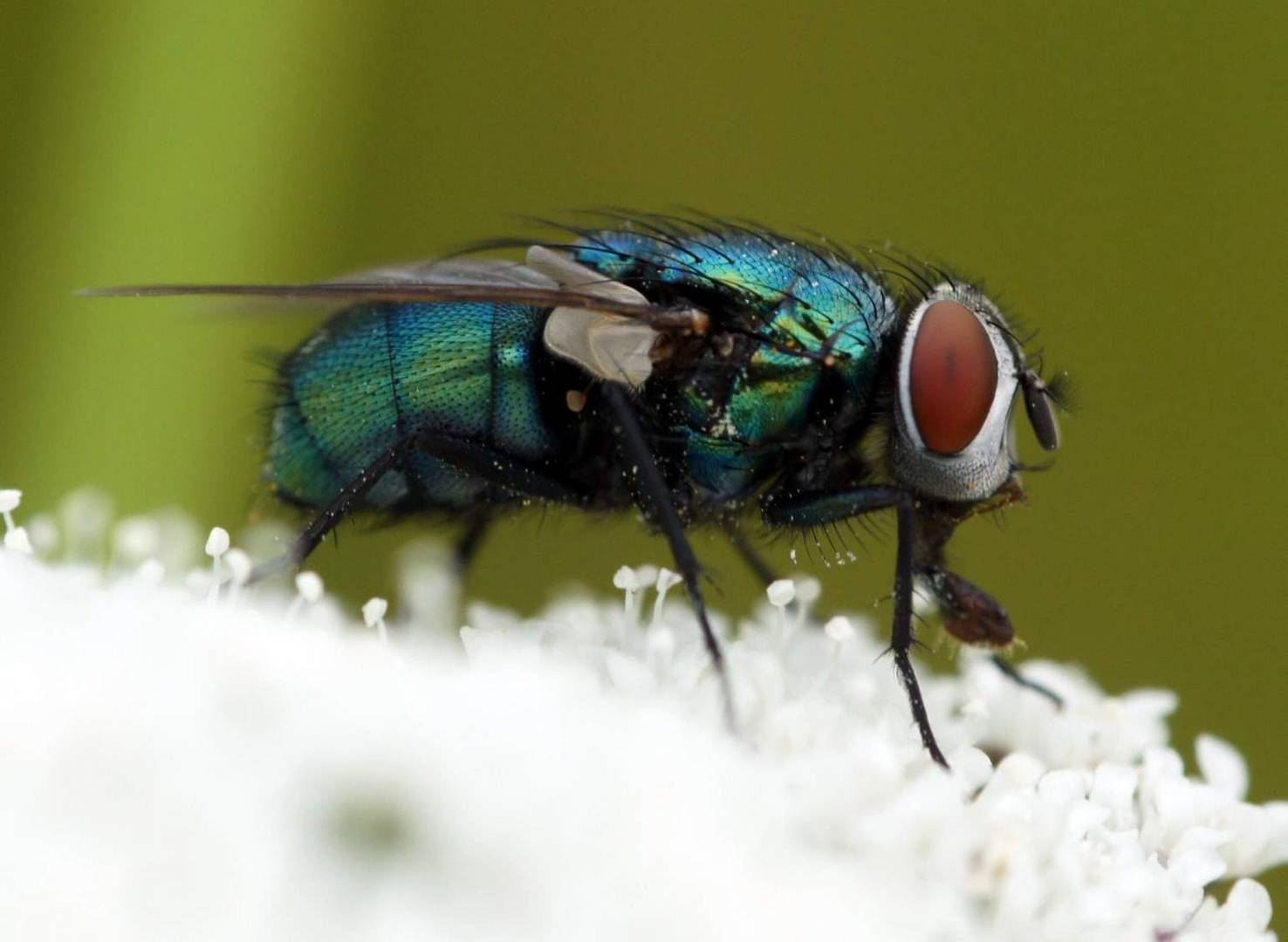 gr ne fliege foto bild tiere wildlife insekten. Black Bedroom Furniture Sets. Home Design Ideas