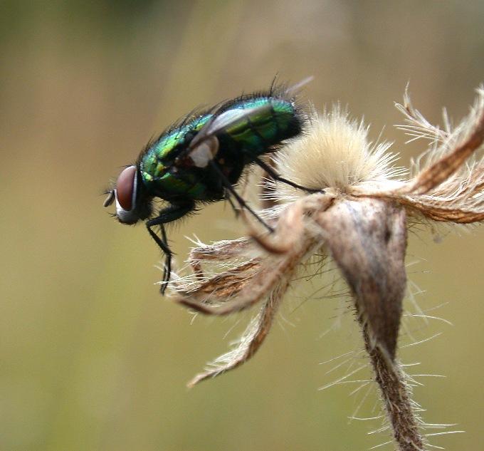 Grüne Fliege