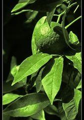 grüne Frucht
