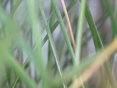 grüne Grashalme