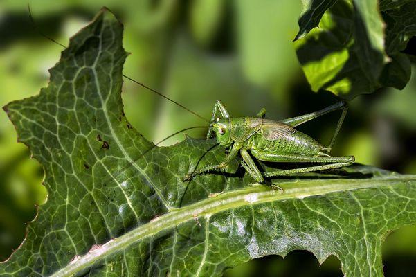 Grüne Heuschrecke gut getarnt in grüner Umgebung!