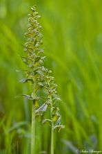 Grüne Hohlzunge 2/10 Grünes Exemplar
