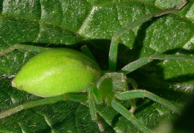 Grüne Huschspinne
