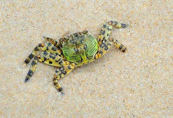 Grüne Krabbe
