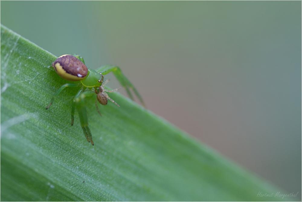 Grüne Krabbenspinne