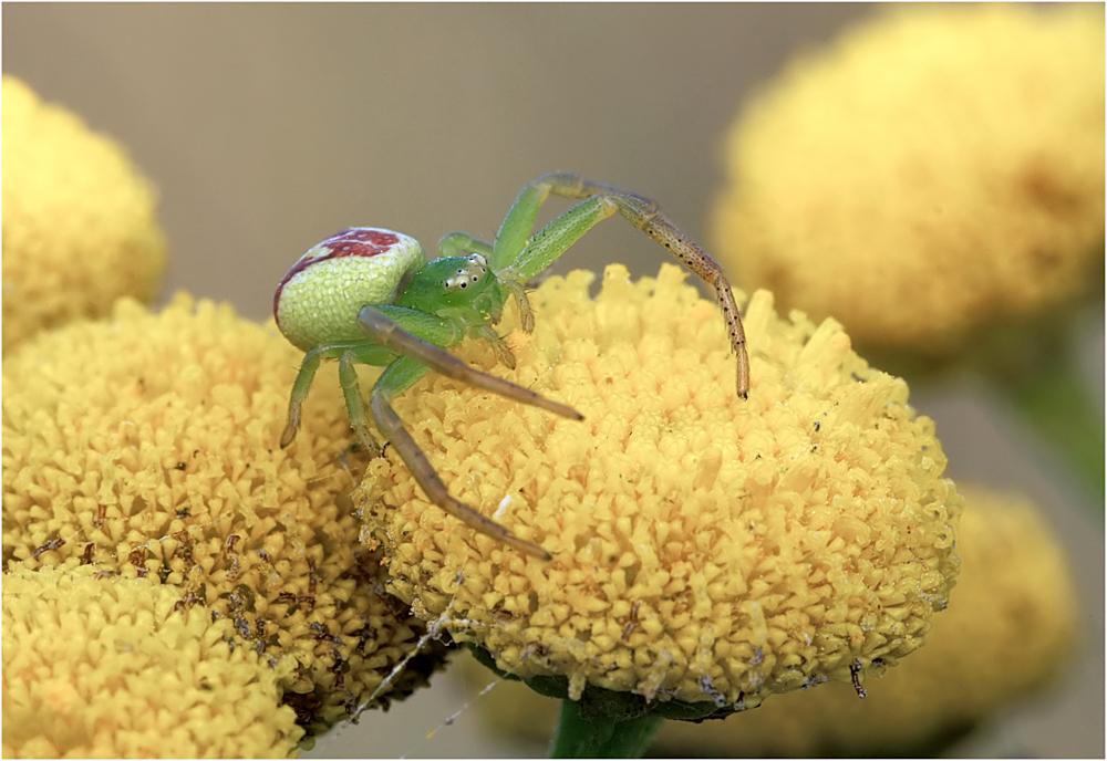 Grüne Krabbenspinne (Diaea dorsata)