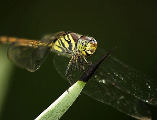 Grüne Libelle