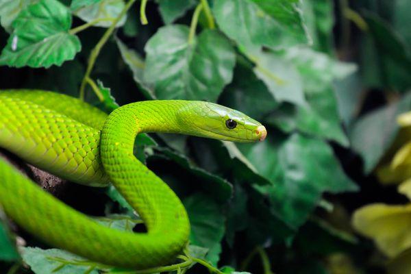 grüne Mamba beim angriff