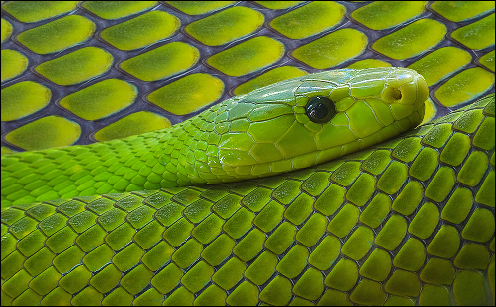 Grüne Mamba - Dendroaspis Viridis -