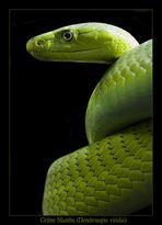Grüne Mamba - Dendroaspis viridis