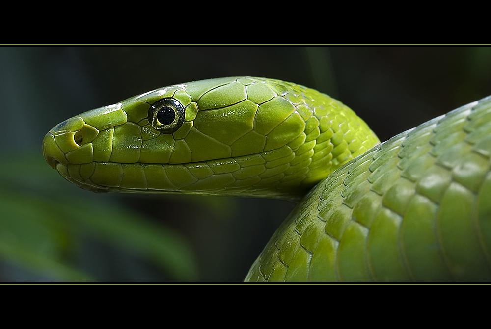Grüne Mamba - Dendroaspis Viridis - 3