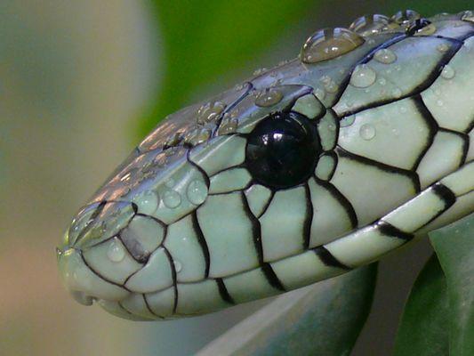 """grüne Mamba""                                                                  Dendroaspis viridis"