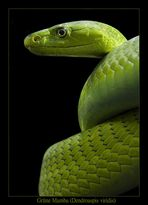 Grüne Mamba - Dendroaspis viridis - Reload 2