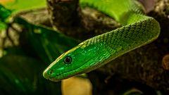 Grüne Mamba