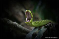 Grüne Mamba ... oder es gibt viele falsche Schlangen auf der Welt