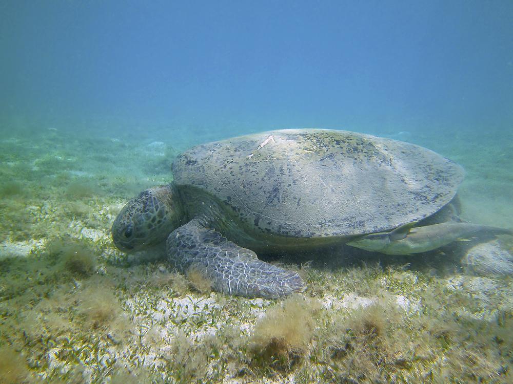 Grüne Meeresschildkröte (Marsa Alam / Ägypten)