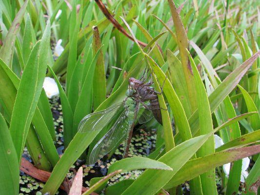 Grüne Mosaikjungfer (Aeshna viridis) an Larvenhülle