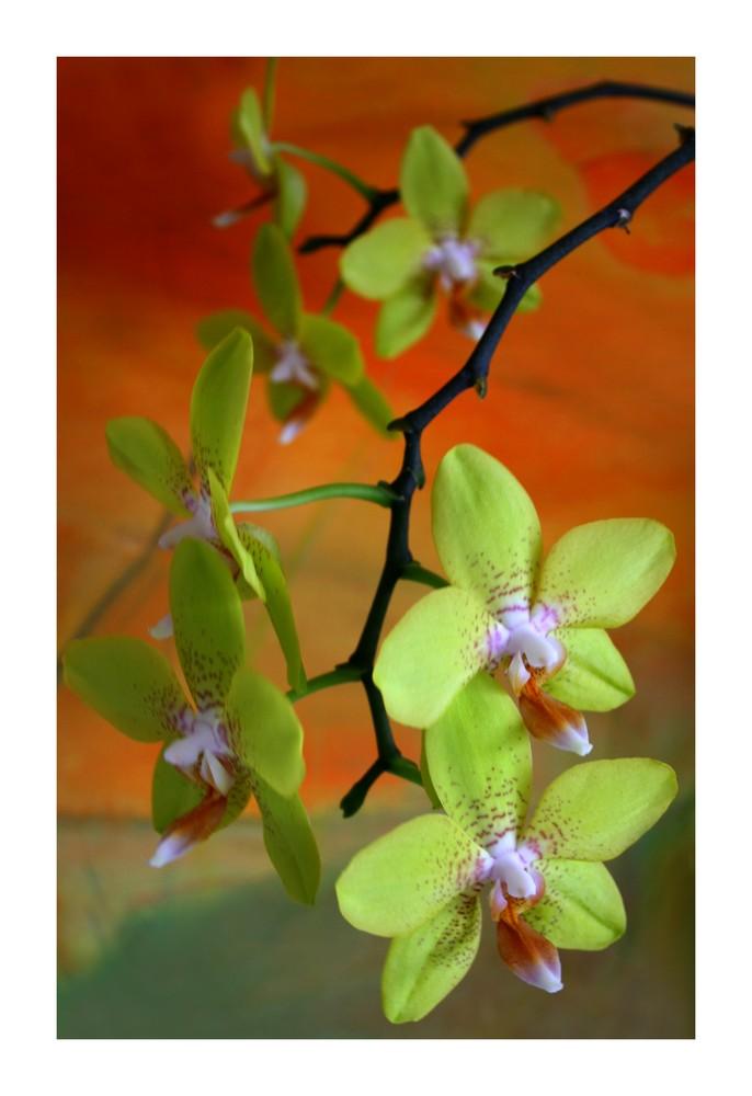 grüne Orchidee (2)