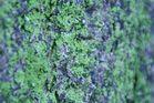 grüne Rinde