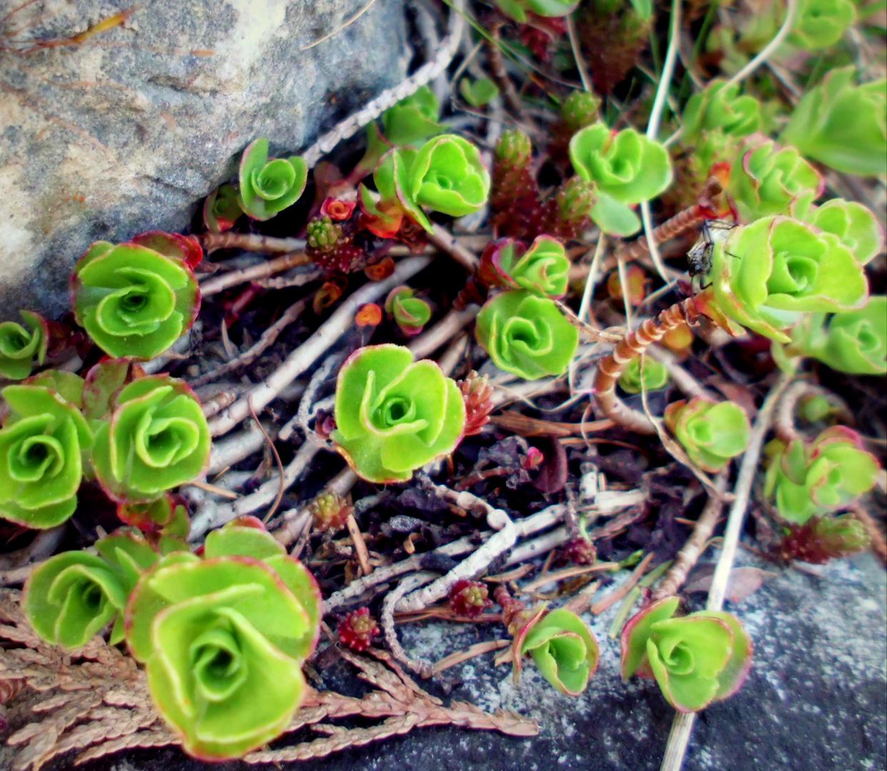 Grüne Röschen