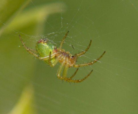 Gruene Spinne