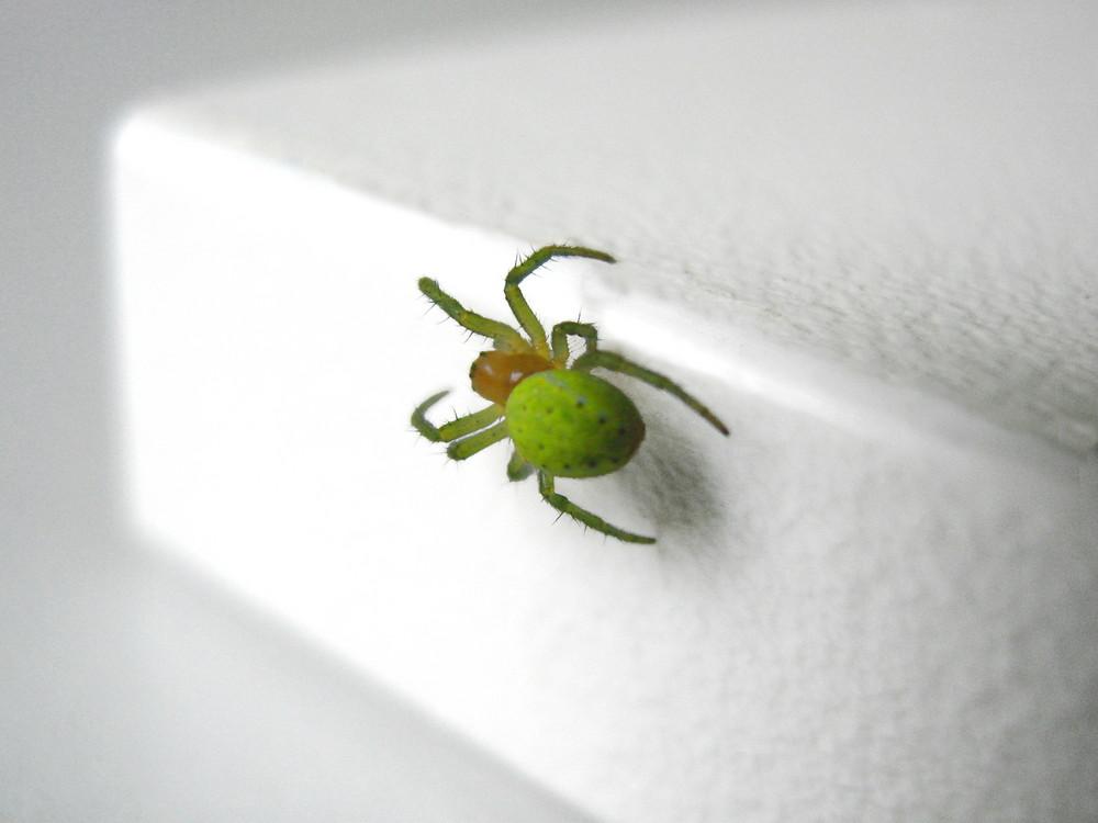 Grüne Spinne in meinem Zimmer