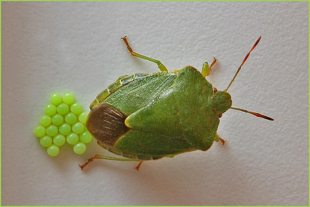 gr ne stinkwanze bei der eiablage foto bild tiere wildlife insekten bilder auf fotocommunity. Black Bedroom Furniture Sets. Home Design Ideas
