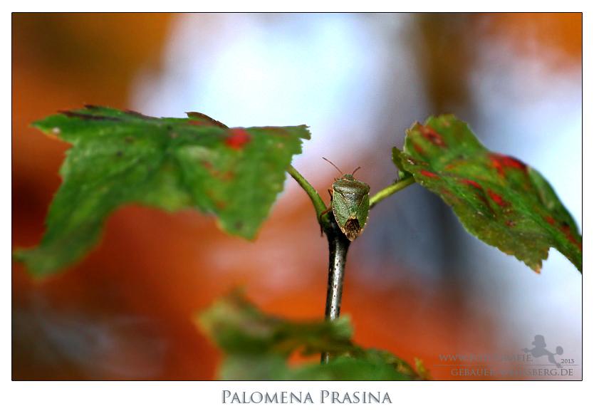 Grüne Stinkwanze und der Herbst